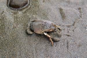 Mole crab digging in the sand