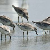 xfs_284x200_s80_Feeding-Shore-Birds